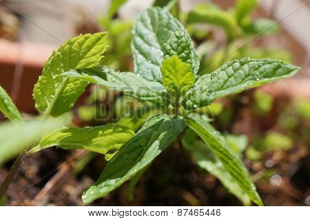 Mint with water drops
