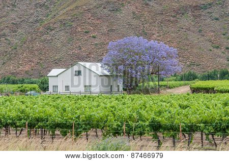 Farm House And Vineyards In The Hex River Valley