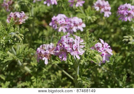 Scented-leaved pelargonium in blossom