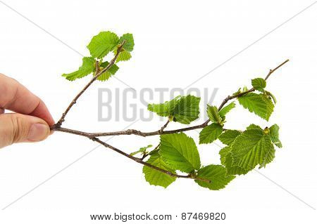 Man hand holding some leaves of hazel isolated on a white background