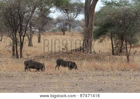 Lions hunting warthogs