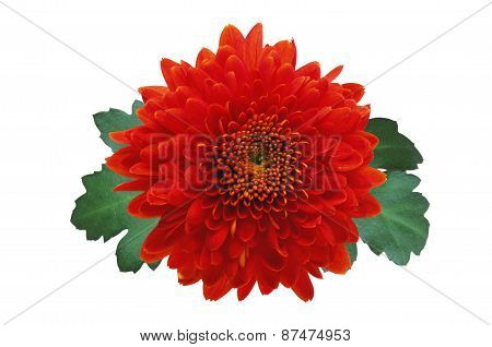 Red Autumn Chrysanthemum Isolated On White