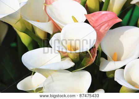 Calla lily,Arum lily,Gold calla