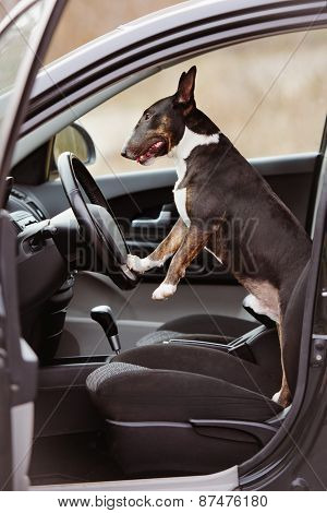 english bull terrier dog in a car