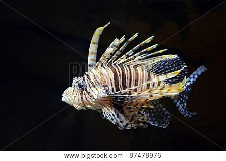 Flying Lionfish (pterois Volitans) Underwater. Closeup View