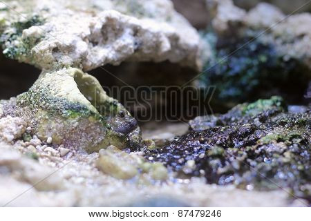 Pearses Mudskipper (periophthalmus Novemradiatus) Looking Out Of