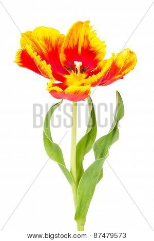 Tulip With Leaves Isolate On White