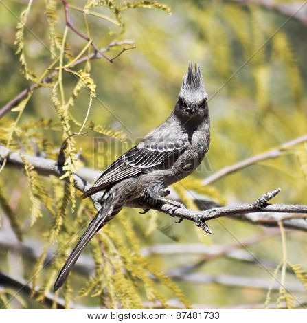 A Female Phainopepla Eating A Flying Insect