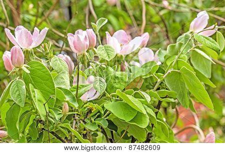 Flowering Branch Of Quince In Spring Garden