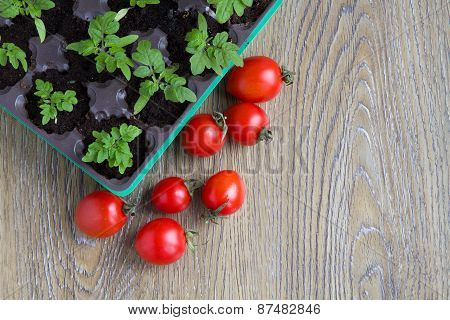 seedling plants cherry tomatoes and tomato fruits