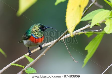 Miombo Double-collared Sunbird (cinnyris Manoensis)