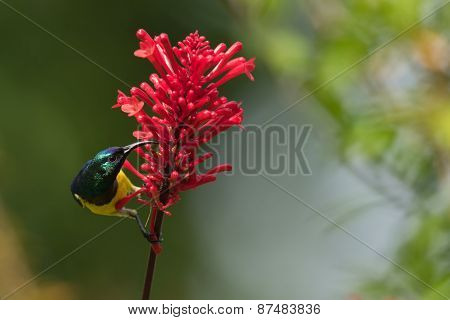Yellow-bellied Sunbird (nectarina Venusta) Perched For Nectar Drinking