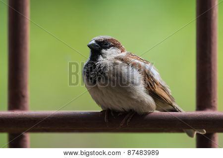 House Sparrow (passer Domesticus) Sitting Sleepily On A Metal Bar