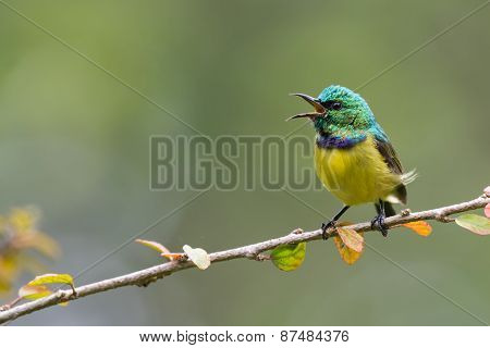 Collared Sunbird (hedydipna Collaris) In Full Song