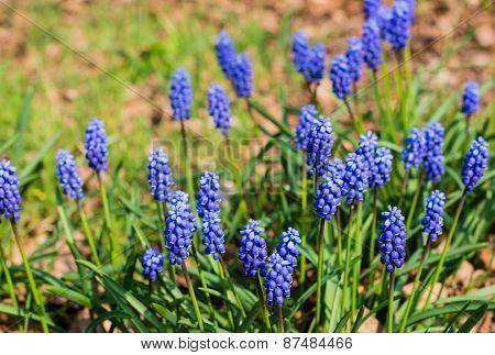 Flowering Grape Hyacinths In A Dutch Forest