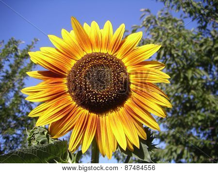 Bright sunflower with bee