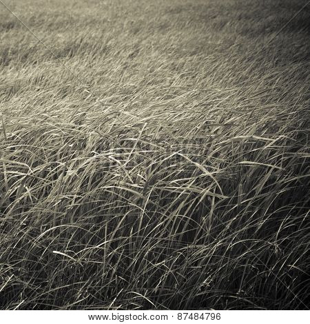 Meadows close up with monochromatic treatment . An abstract nature background.