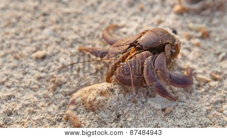 Small Hermit Crab Without Shell