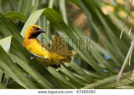 Spectacled Weaver (ploceus Ocularis) Looking Up From Preening