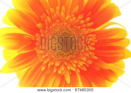 Close Up Vintage Flower Isolated