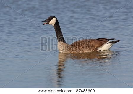 Canada Goose Calling - Grand Bend, Ontario