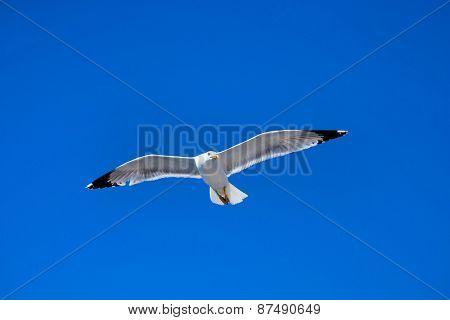 The seagull flies against the blue sky