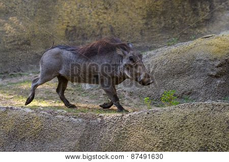 Warthog - Phacochoerus Africanus