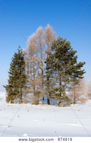 Frosten Trees, Winter Landscape