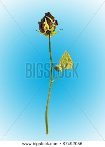 Dried Rose On Blue Background