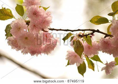 Kwanzan cherry tree blooms