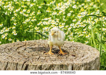 Chicken On A Stump In Spring Day