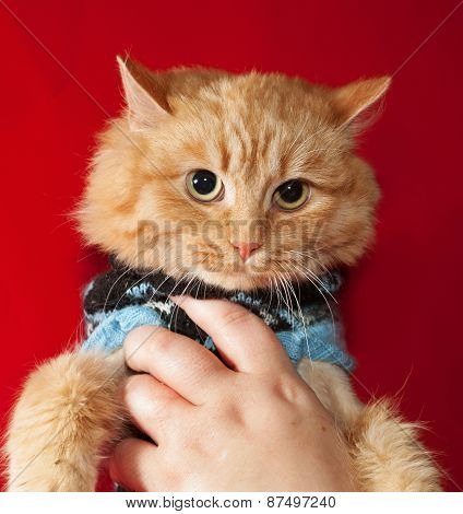 Ginger Bobbed Cat In Sweater On Red