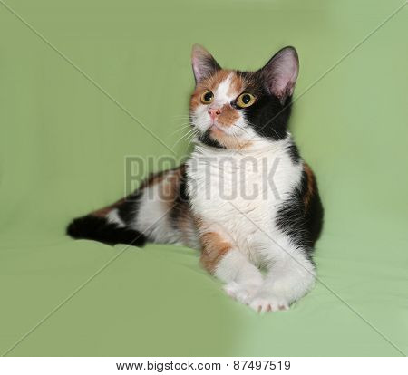 Tricolor Cat Lies On Green