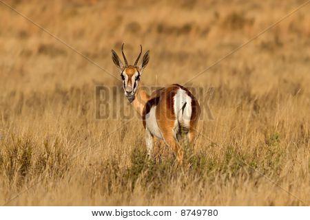 Springbuck masculino