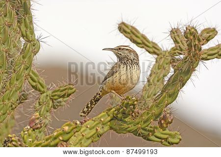 Cactus Wren On A Cholla In The Desert