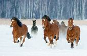 stock photo of running horse  - Herd of horses running through a snowy field gallop - JPG