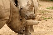 picture of mating  - White rhinoceros horn battle for mating rights - JPG