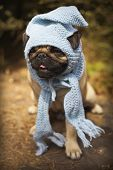 stock photo of puppy dog face  - Beautiful male pug puppy dog sitting on a tree log in the sunshine with a blue scarf and a gnome hat. Autumn dog fashion, fall weather. Cute puppy face