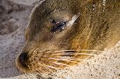 pic of sea lion  - Closeup portrait of sea lion relaxing in a beach at the Galapagos Islands - JPG
