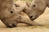 image of mating  - White rhinoceros horn battle for mating rights