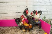 stock photo of bantams  - Colorful Rooster - JPG