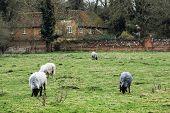 picture of sheep  - Sheep grazing in the english countryside. Farm theme. ** Note: Soft Focus at 100%, best at smaller sizes - JPG