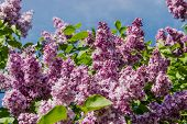 picture of lilac bush  - Lilac bush with pale purple flowers against the green foliage and blue sky - JPG