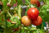 image of vines  - Ripe fresh tomatoes growing on the vine - JPG