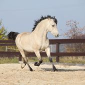 stock photo of arena  - Gorgeous welsh cob running in arena with autumn background  - JPG