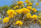 picture of trumpet flower  - close up of Tabebuia chrysotricha yellow flowers blossom on blue sky background golden trumpet tree - JPG