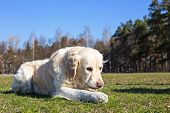 stock photo of disobedient  - Golden retriever lies on the lawn and gnaws the stick - JPG