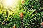 pic of pinus  - Pinus mugo - JPG