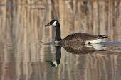 stock photo of cattail  - Canada Goose  - JPG