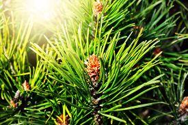 image of pinus  - Pinus mugo - JPG